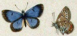 Image of <i>Aricia shasta</i>