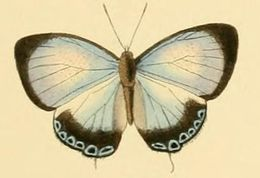 Image of <i>Hypochlorosis ancharia</i> Hewitson 1869