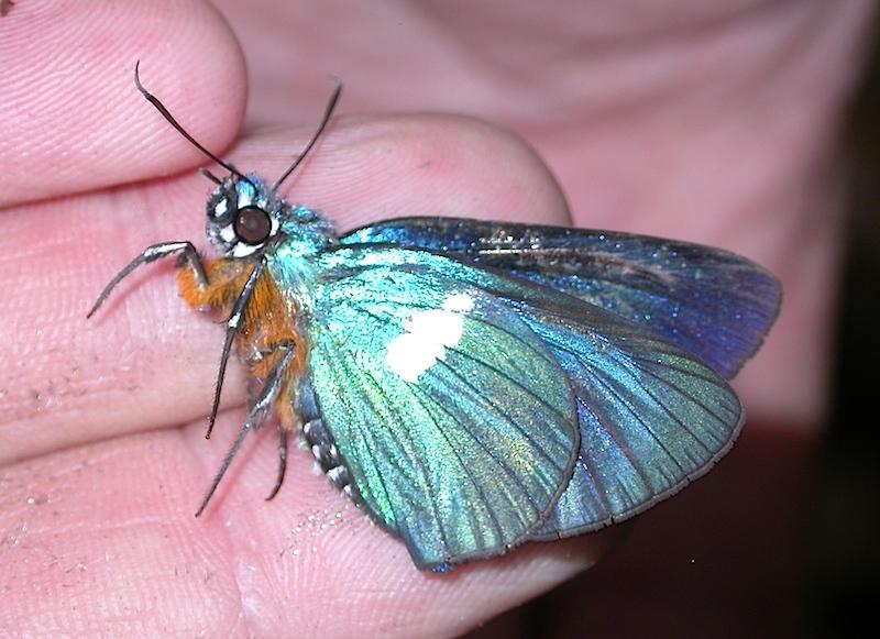 Image of <i>Coeliades bixana</i> Evans 1940