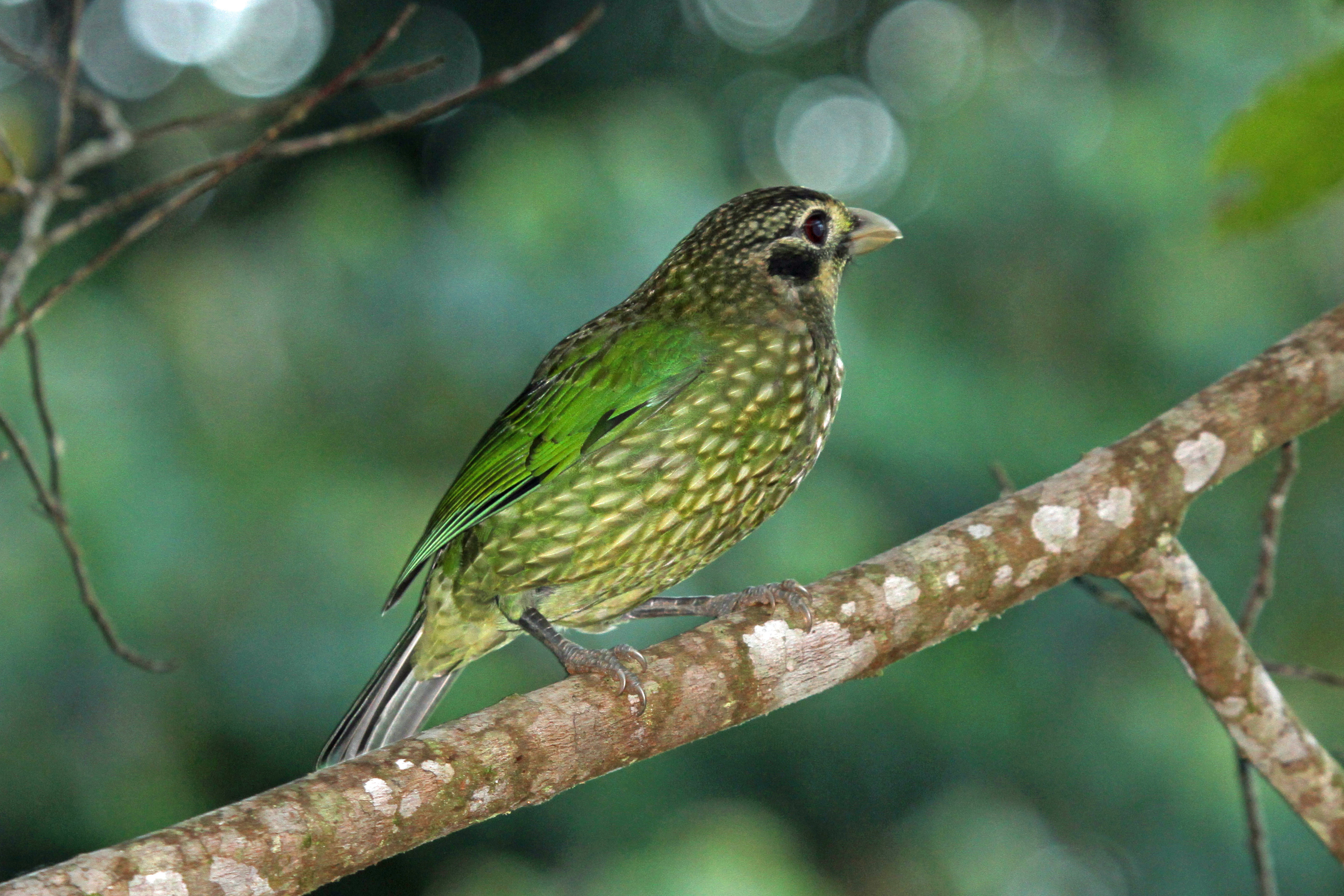 Image of Spotted catbird