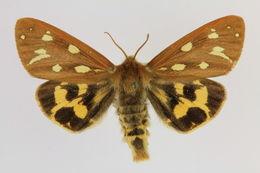 Image of <i>Hyphoraia aulica</i>