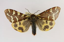 Image of <i>Pararctia lapponica</i>