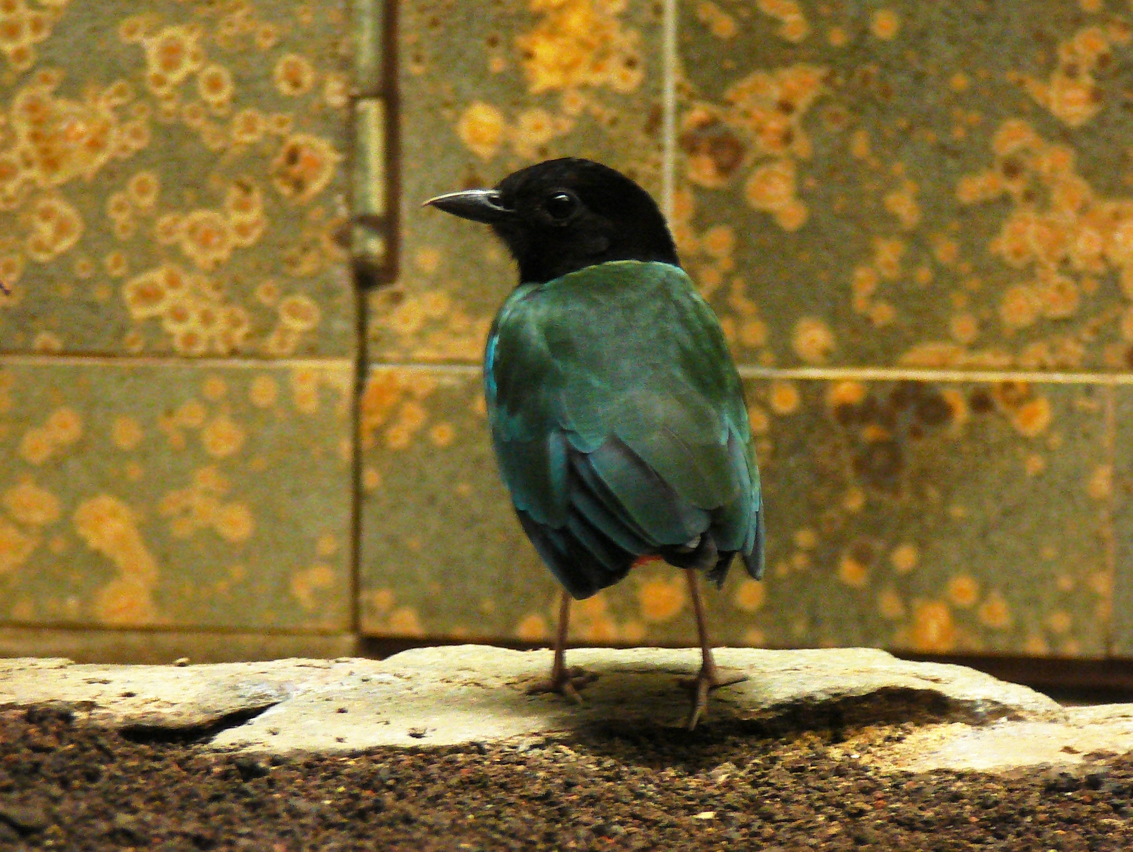 Image of Hooded Pitta