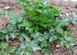 Image of <i>Apium graveolens</i> var. <i>secalinum</i>