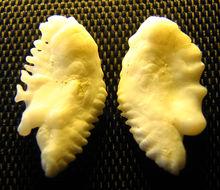 Image of Atlantic Ocean Perch