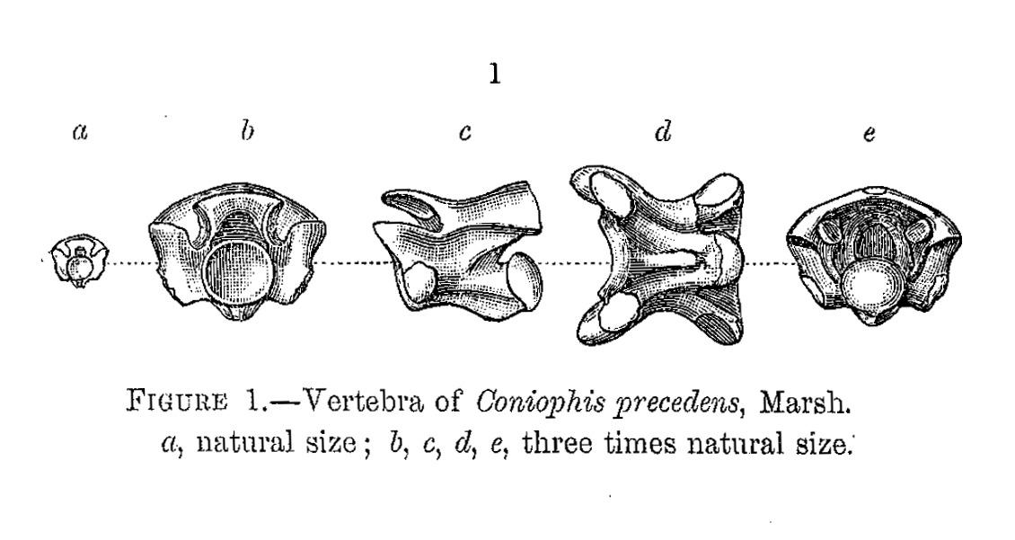 Image of Coniophis Marsh 1892