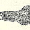 Image of Duck-billed Buntingi