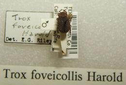Image of <i>Trox foveicollis</i> Harold 1872