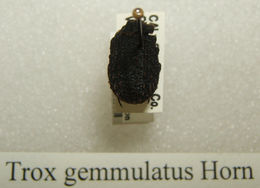 Image of <i>Trox gemmulatus</i> Horn 1874