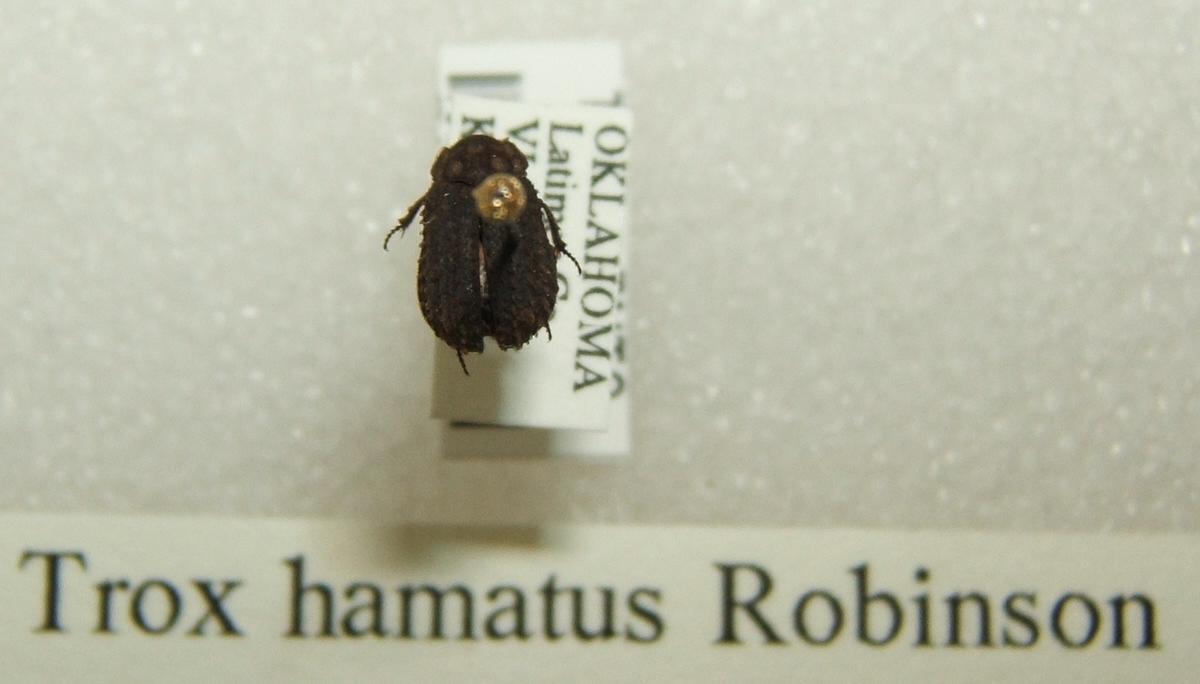 Image of <i>Trox hamatus</i> Robinson 1940