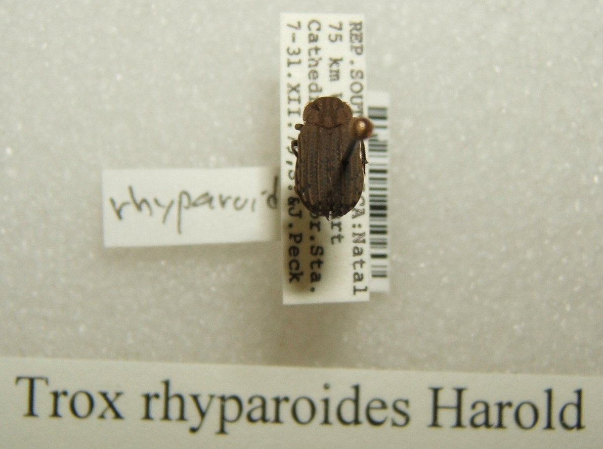 Image of <i>Trox rhyparoides</i>