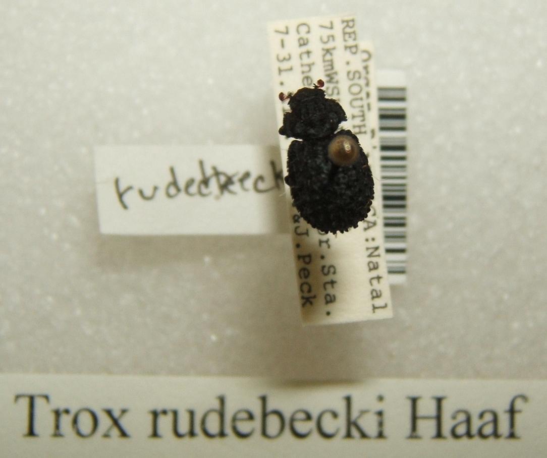 Image of <i>Trox rudebecki</i>