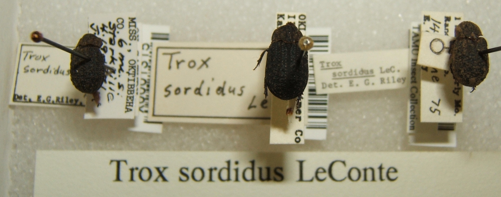 Image of <i>Trox sordidus</i> Le Conte 1854