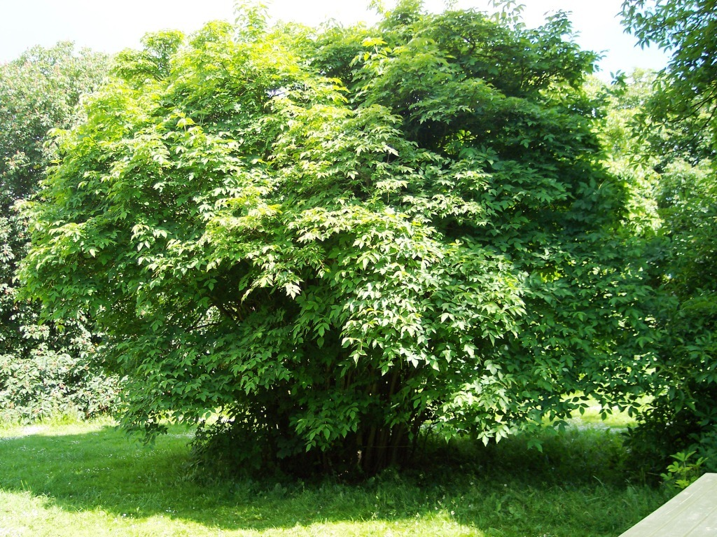 Image of <i>Staphylea colchica</i>