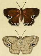 Image of <i>Leptomyrina lara</i>