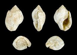 Image of <i>Aspa marginata</i> (Gmelin 1791)