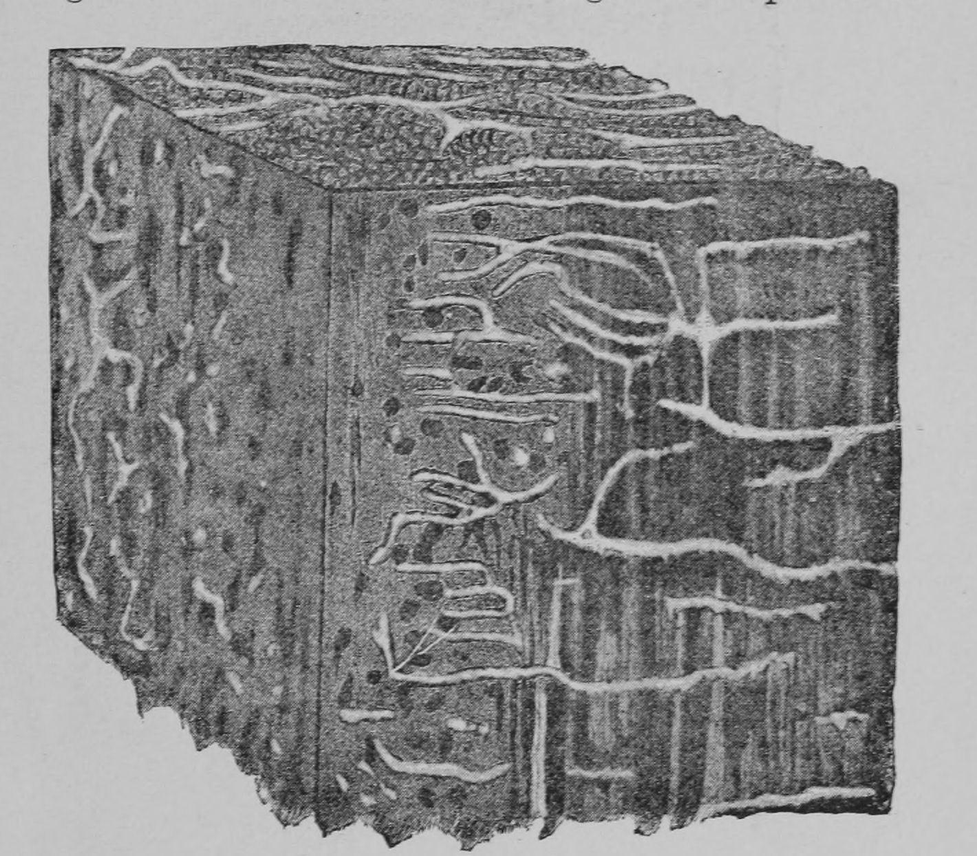 Image of <i>Pseudoinonotus dryadeus</i> (Pers.) T. Wagner & M. Fisch. 2001
