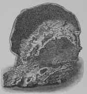 Image of <i>Serpula lacrymans</i> (Wulfen) J. Schröt. 1888
