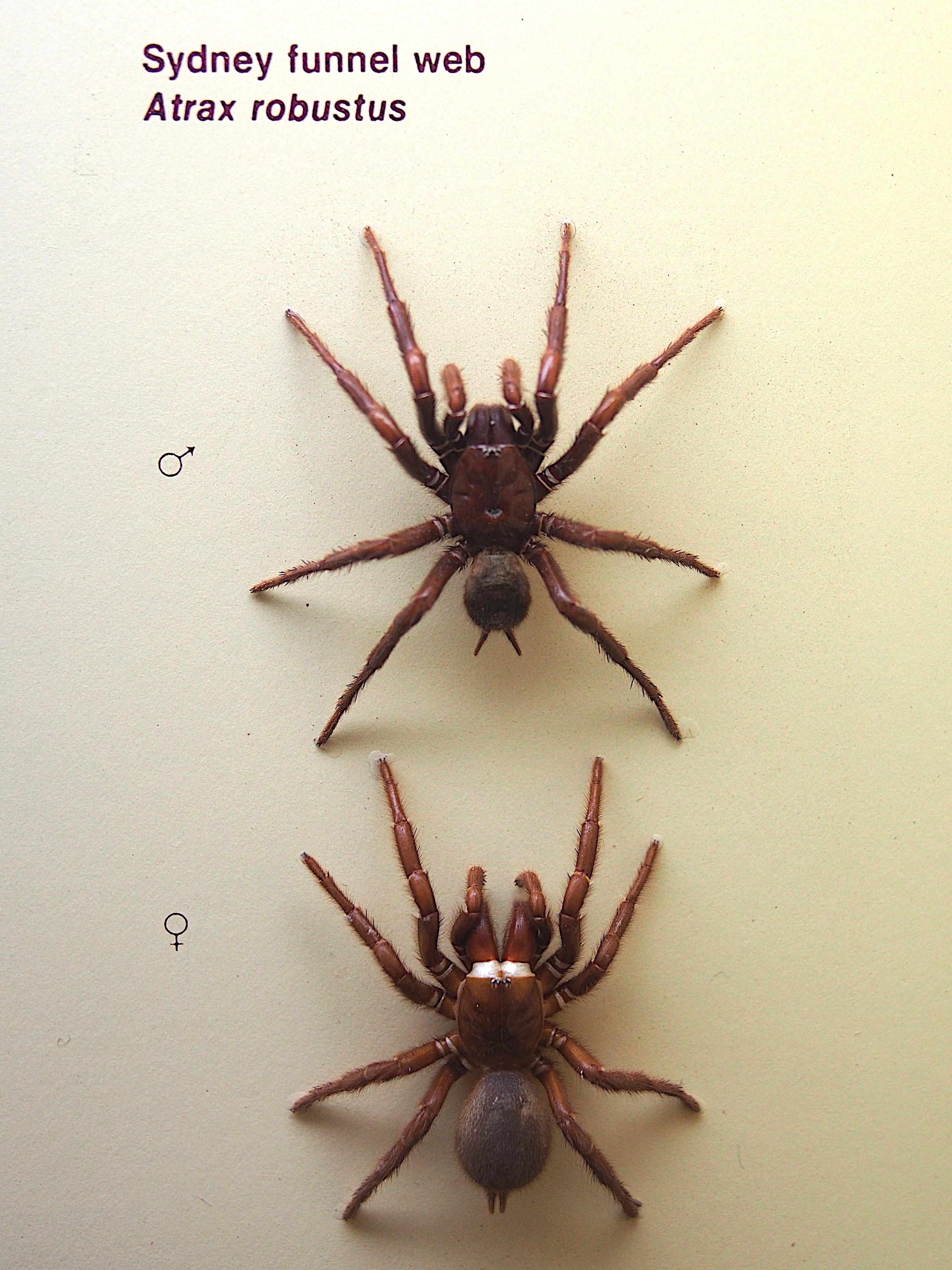 Image of Sydney funnel-web spider