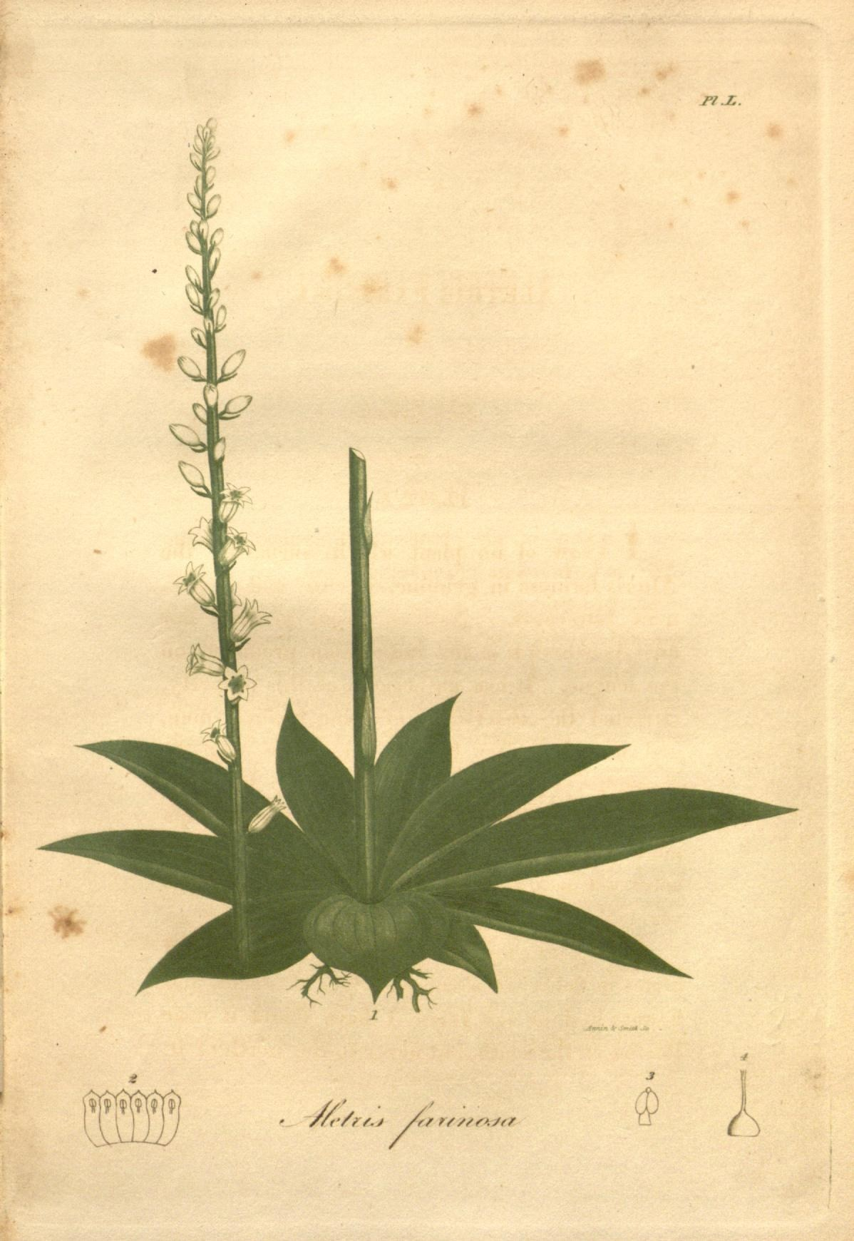 Image of white colicroot