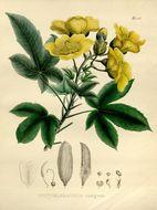 Image of Algodonillo