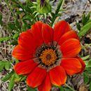 Image of treasure-flower