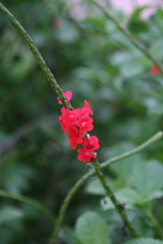 Image of changeable velvetberry