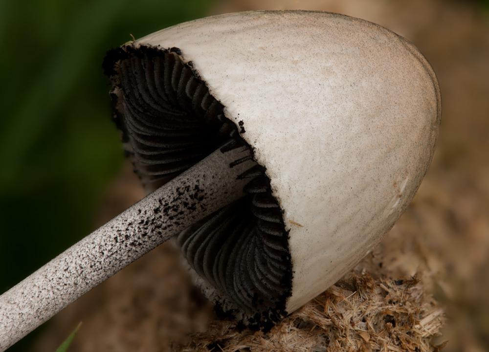 Image of Egghead Mottlegill