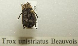 Image of <i>Trox unistriatus</i> Palisot de Beauvois 1805