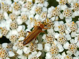 Image of <i>Oedemera podagrariae</i>