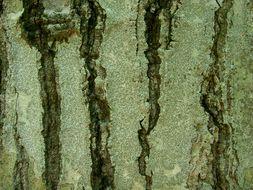Image of Common script lichen