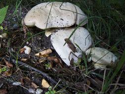 Image of <i>Caloboletus radicans</i> (Pers.) Vizzini 2014