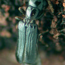Image of telephone-pole beetle