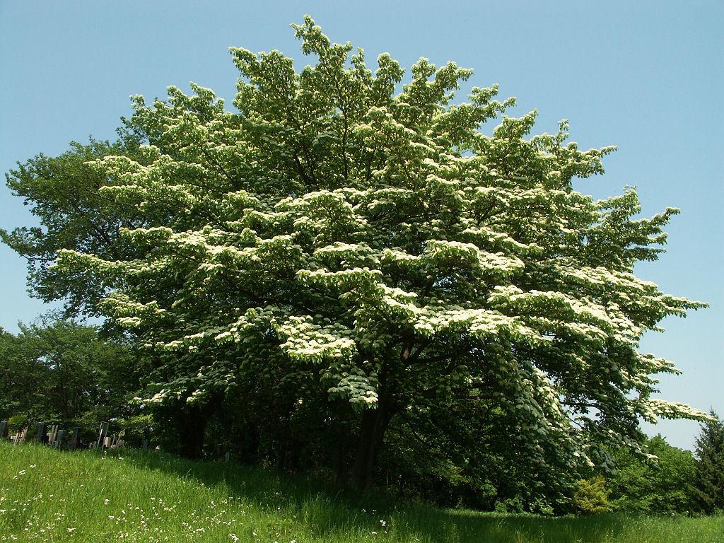 Image of giant dogwood