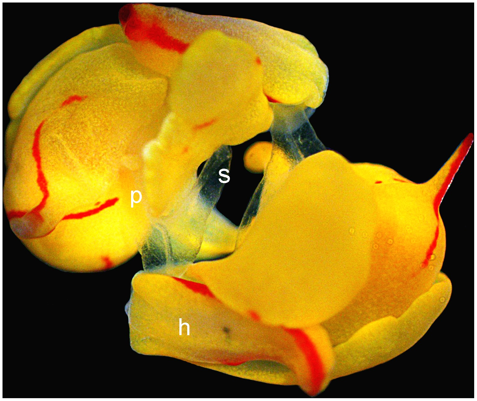 Image of <i>Siphopteron quadrispinosum</i> Gosliner 1989