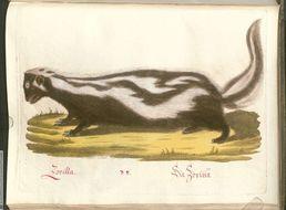Image of Striped Polecat