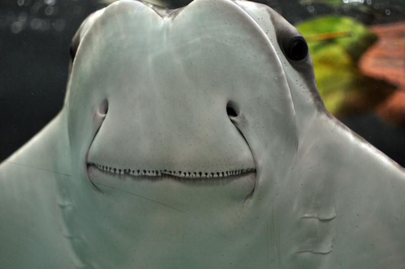 Image of Cowfish