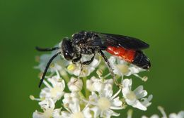 Image of dark-winged blood bee