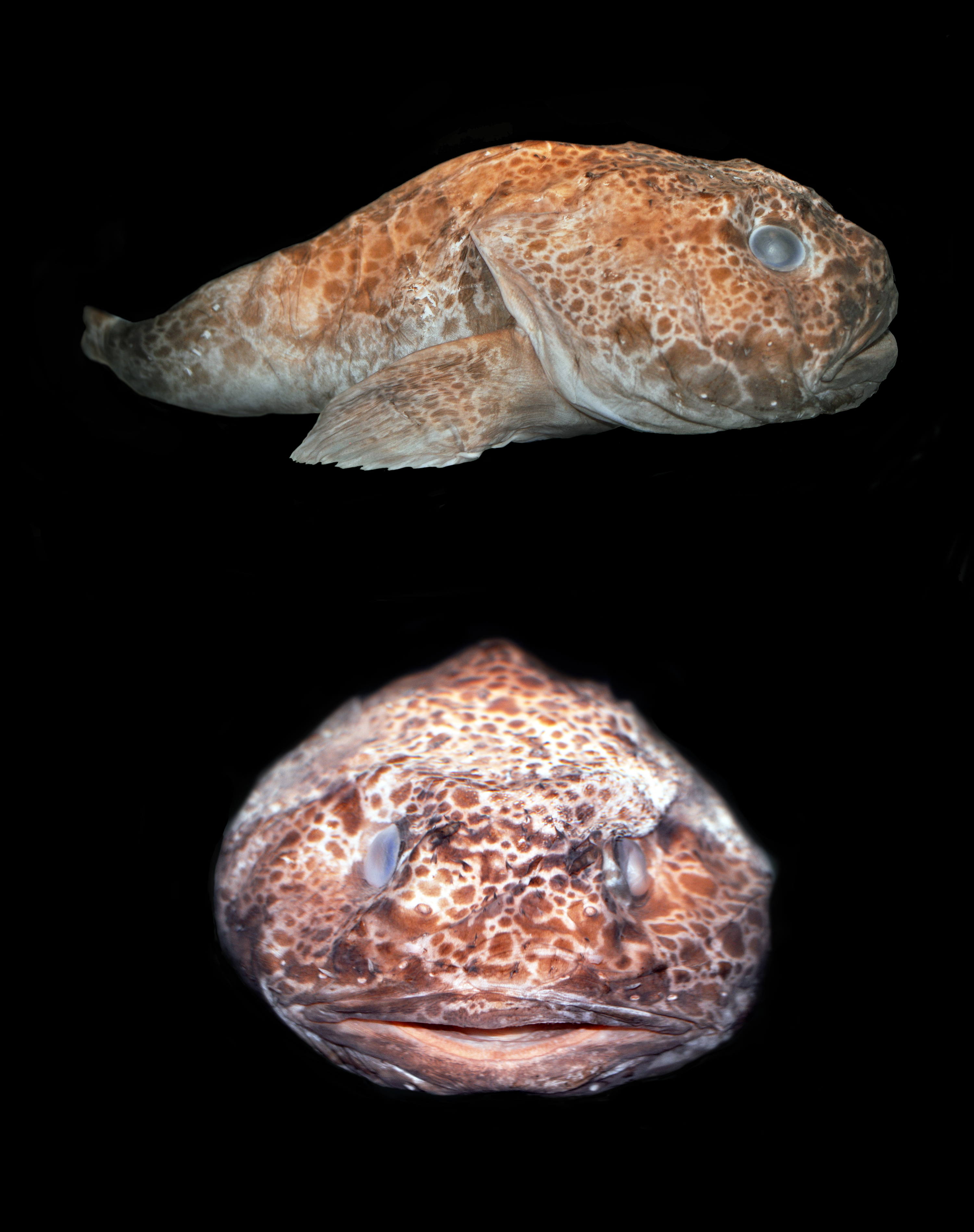 Image of Pale toadfish