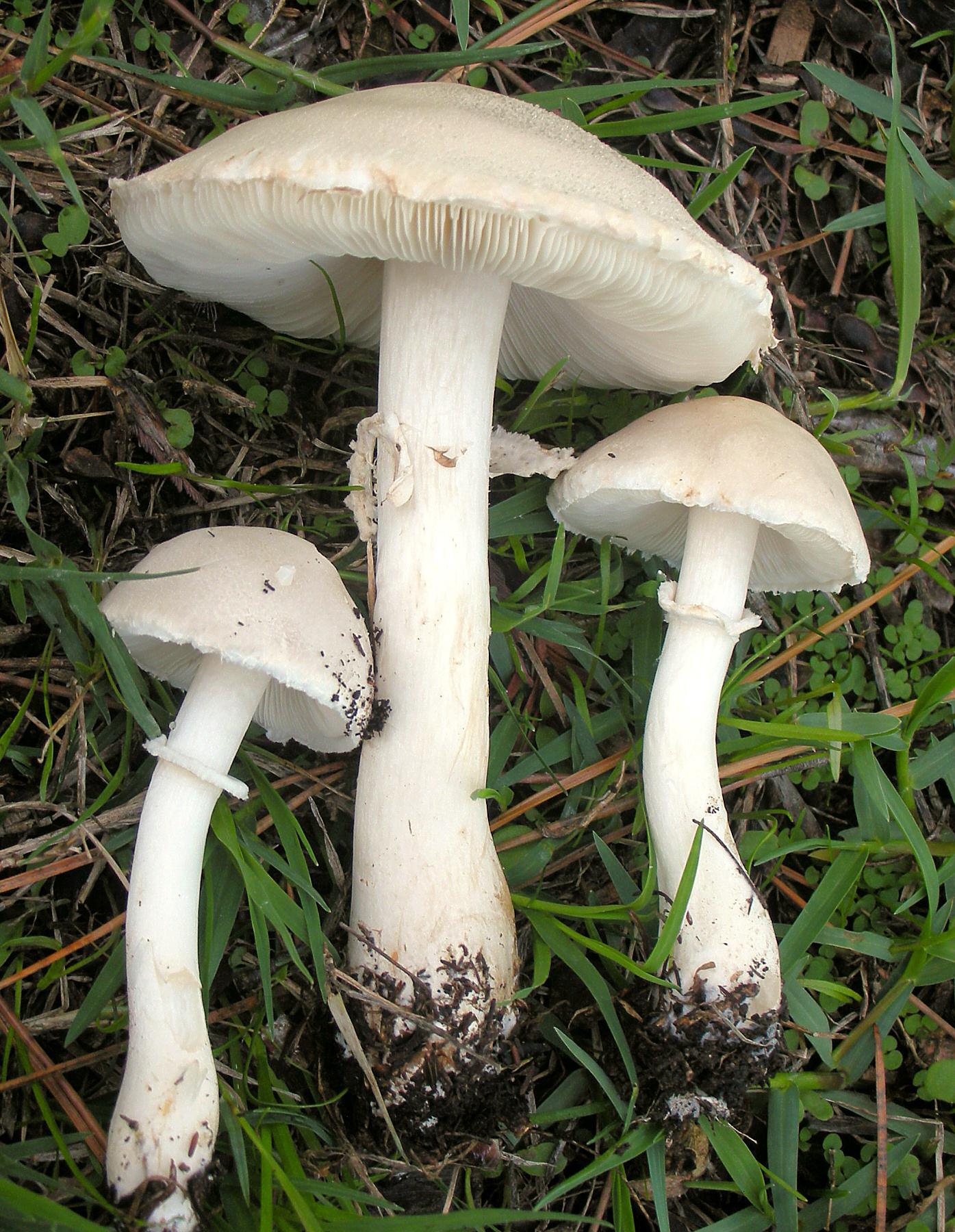 Image of <i>Leucoagaricus leucothites</i> (Vittad.) Wasser 1977