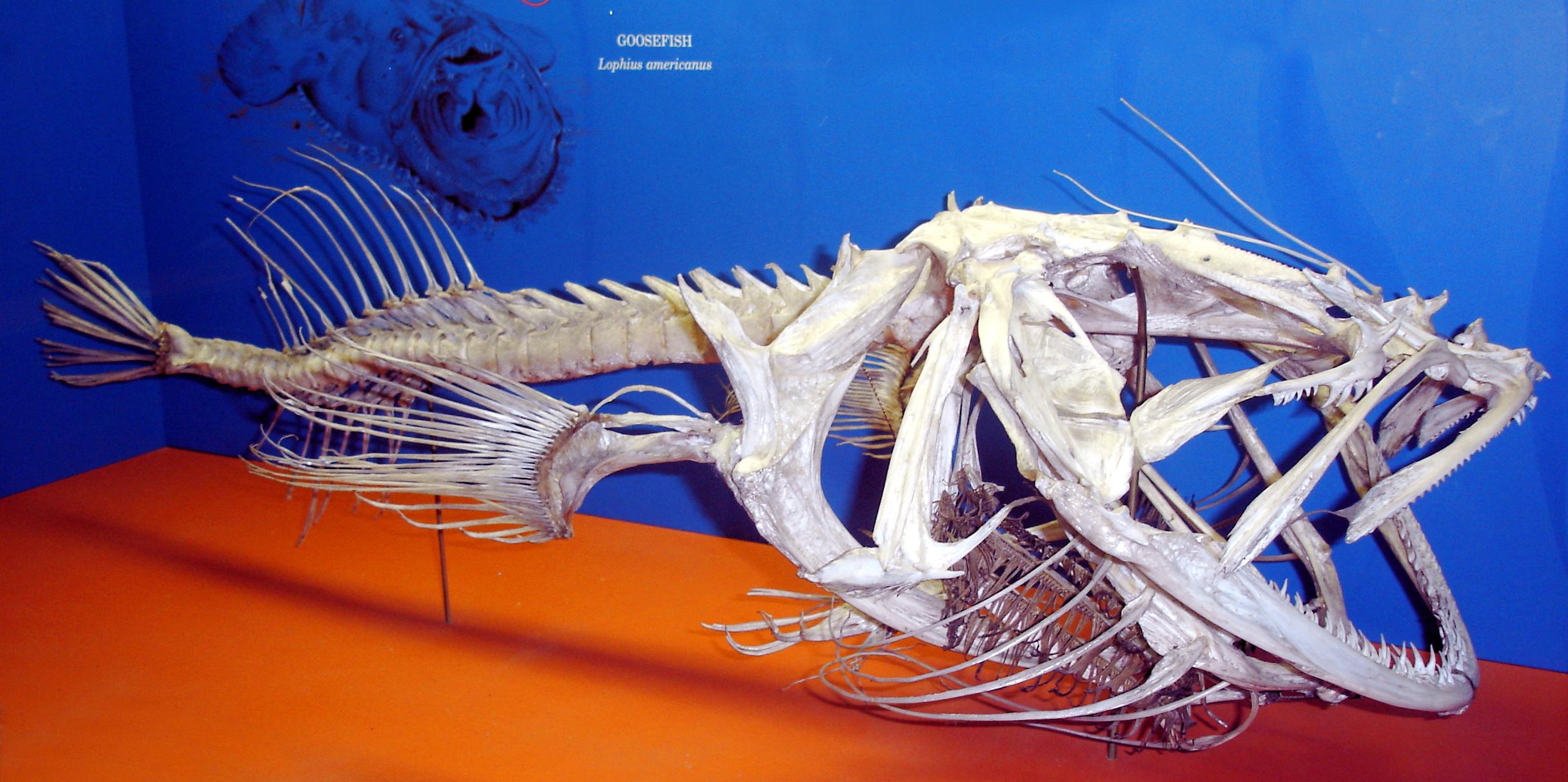 Image of American angler