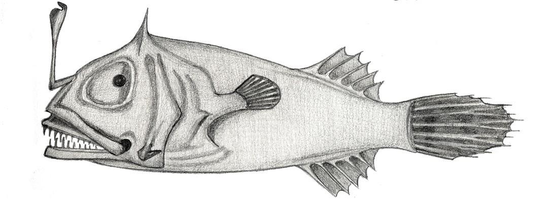 Image of <i>Leptacanthichthys gracilispinis</i> (Regan 1925)