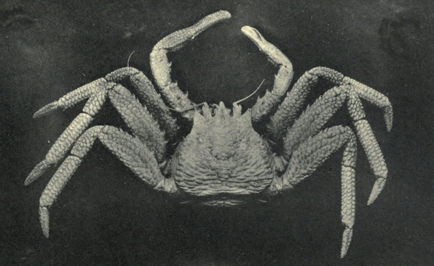 Image of scaled crab