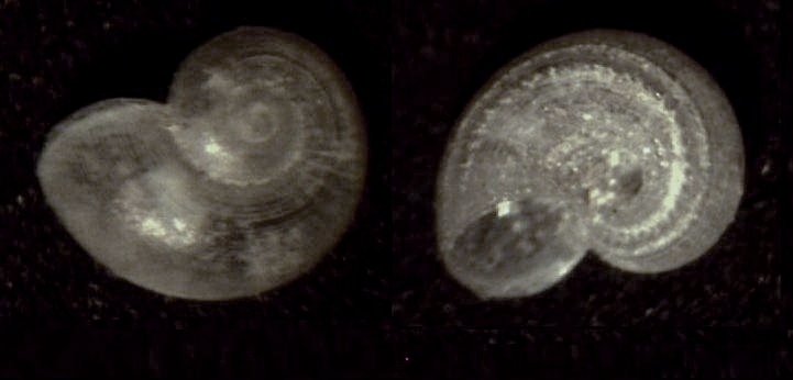 Image of <i>Skenea catenoides</i> (Monterosato 1877)