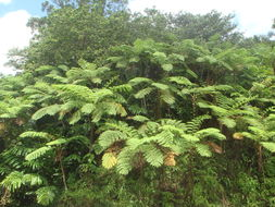 Image of West Indian treefern