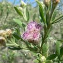 Image of arrowweed