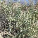 Image of Gardner's saltbush