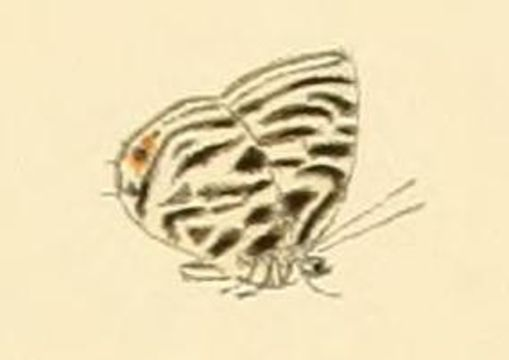 Image of <i>Triclema lamias</i> (Hewitson 1878)