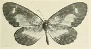 Image of <i>Telipna citrimaculata</i> Schultze 1916