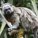 Image of Silvery-brown Bare-face Tamarin